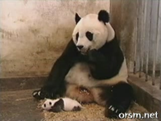 Funny animal videos - Youtube Top Favorited: Sneezing Panda