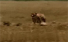 Funny animal videos - Man Steals Cheetahs Prey