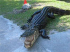 Funny animal videos - Alligator Attack
