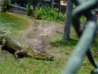 Funny animal videos - Killer Crocodiles in Action