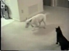 Funny animal videos - Funny Dog Tries to Attack a Cat