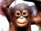 Funny animal videos - Happy Birthday to You! The Monkey Version