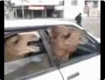 Funny animal videos - Iraqi Lojack