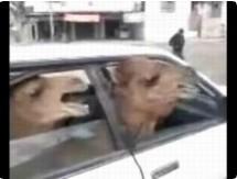 Funny animal videos - Iraqi Lojack