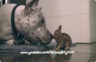 Funny dog videos - Adorable! Pit Bull CLEANS Baby Bunny (Cottontail R )