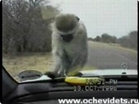Funny animal videos - Monkey