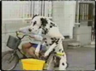 Funny dog videos - Smart Dog Rides a Bike!