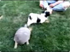 Funny animal videos - Turtle Attacks Dog