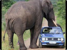 Funny animal videos - Elephant Hijacking A Car