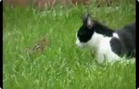 Funny animal videos - Ninja Cat Vs Chipmunk