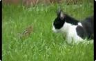 Funny animal videos - Ninja Cat Vs Chipmunk