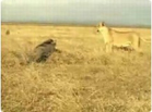 Funny animal videos - Funny Lion