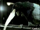 Funny video commercials - Thaimobile_pigeon