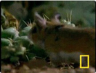 Funny animal videos - Centipede Vs Grasshopper Mouse