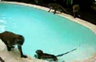 Funny animal videos - Funny - Monkey Pool Party