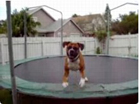Funny dog videos - Dog on Trampoline