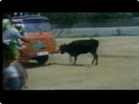 Funny animal videos - Bull Chasing