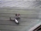 Funny animal videos - Funny Squirrel Fighting- HILARIOUS