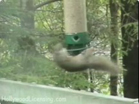 Funny animal videos - Squirrel Twirl