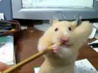 Funny animal videos - Very Funny Greedy Hamster