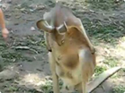 Funny animal videos - When Kangaroos Attack