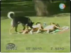 Funny dog videos - The Pervert Dog