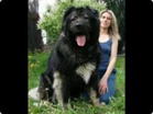 Funny animal videos - Worlds Biggest Dogs