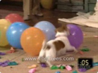 Funny dog videos - Dog Pops Baloons