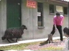 Funny animal videos - Don't Irritate a Sheep
