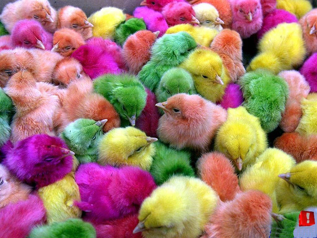 The colourful chicken