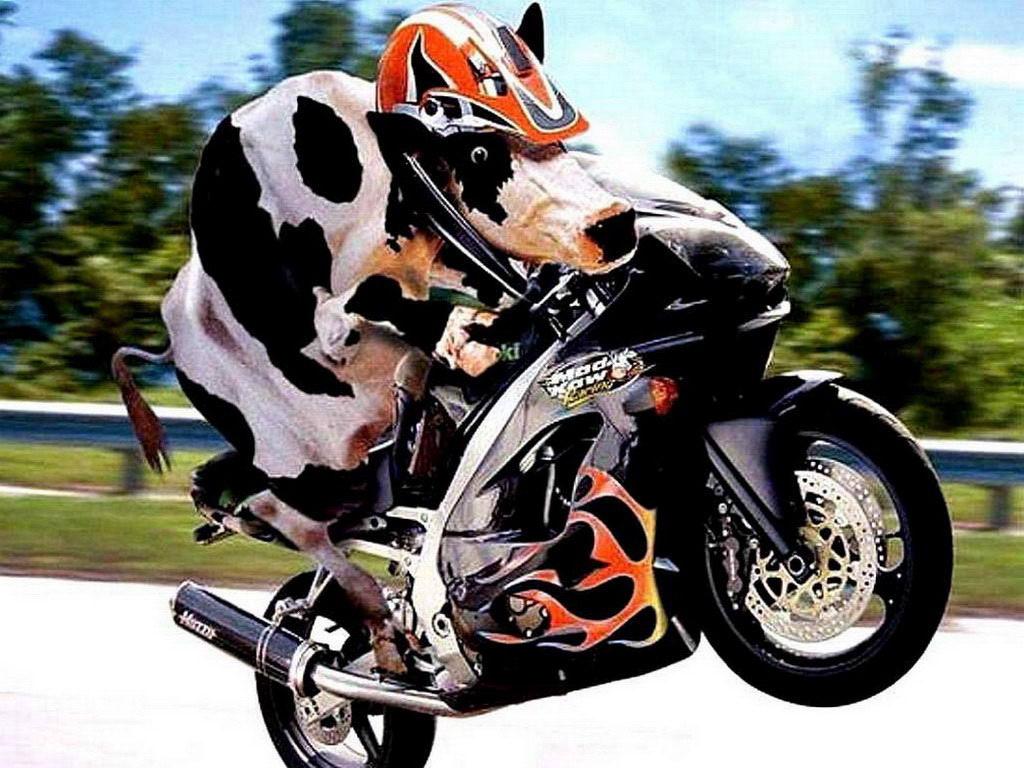 Cow raider