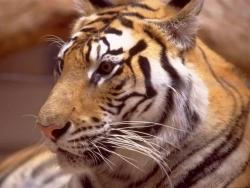 Animal Wallpaper - Sad tiger