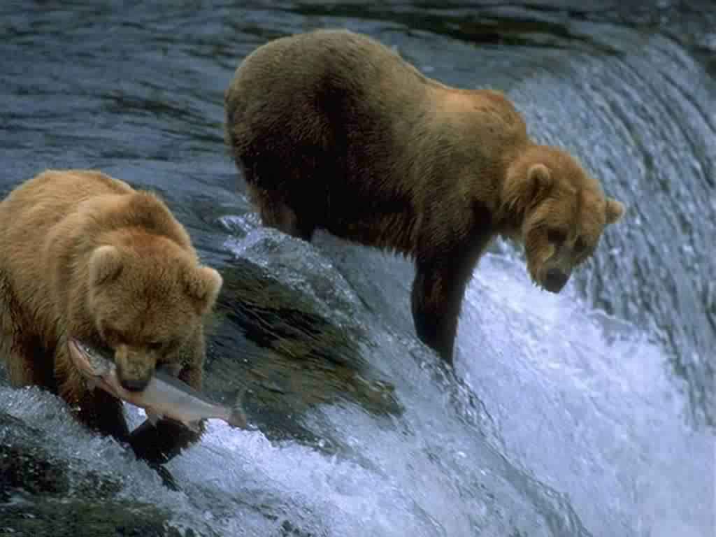 Bears catch fishes
