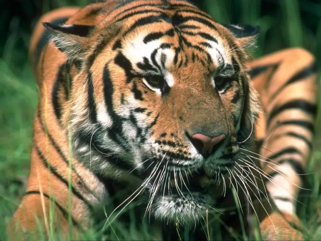 Lovely tiger