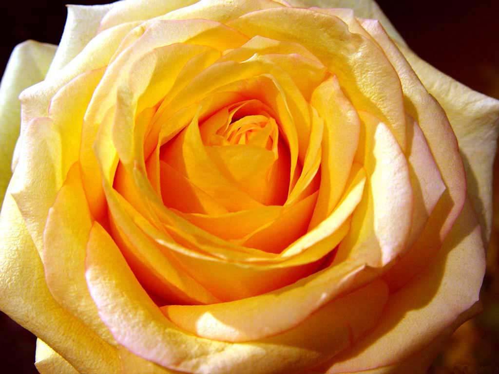 Blossom yellow rose
