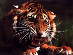 Animal Wallpaper - Scary tiger
