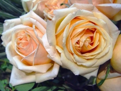 Flower Wallpaper - Two roses