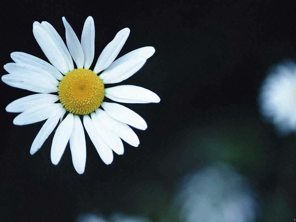 Little Chrysanthemum