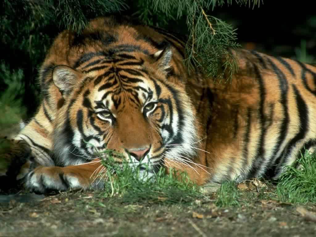 Taciturn tiger