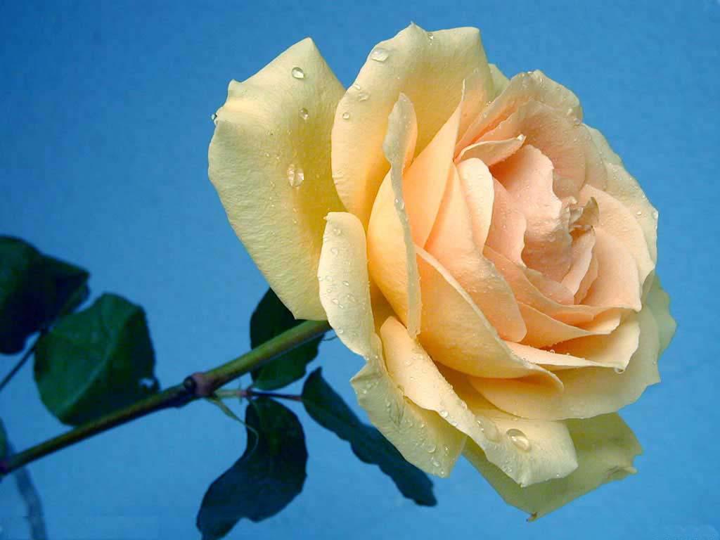 Sprig of rose