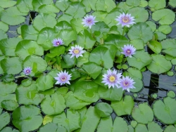 Flower Wallpaper - Flower pond