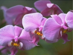 Flower Wallpaper - Sweet orchid
