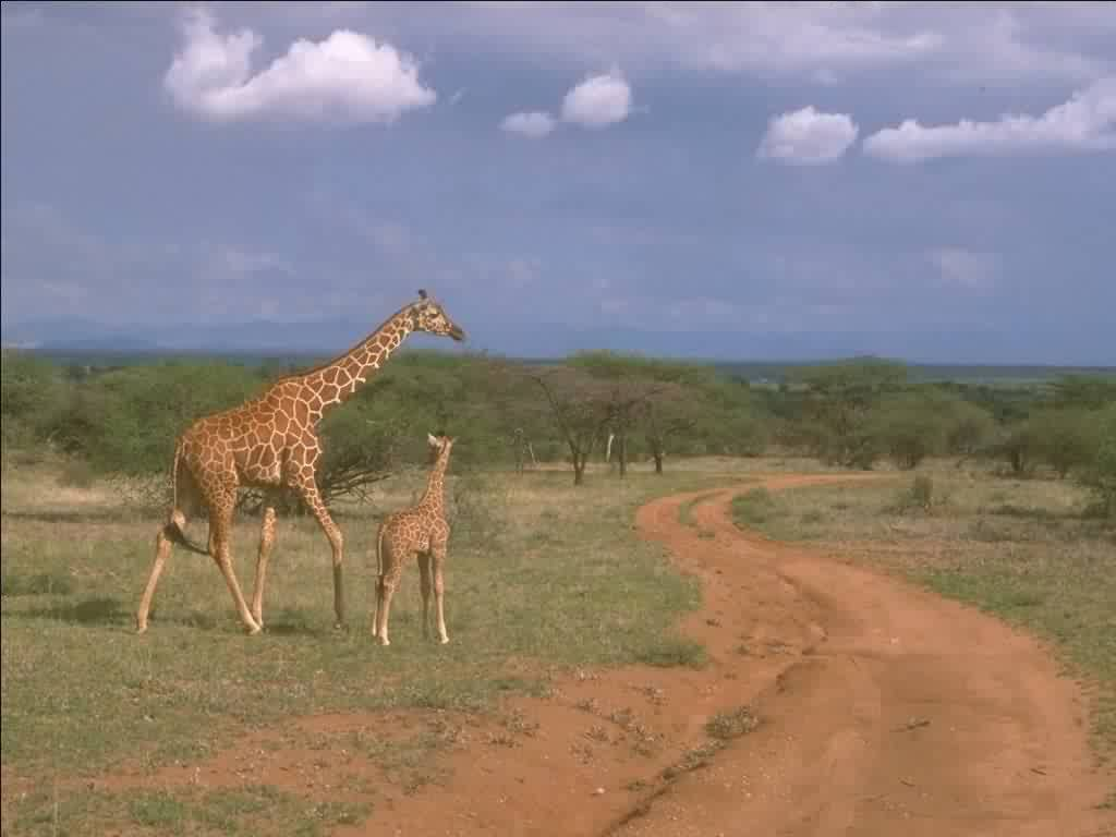 Giraffe and baby