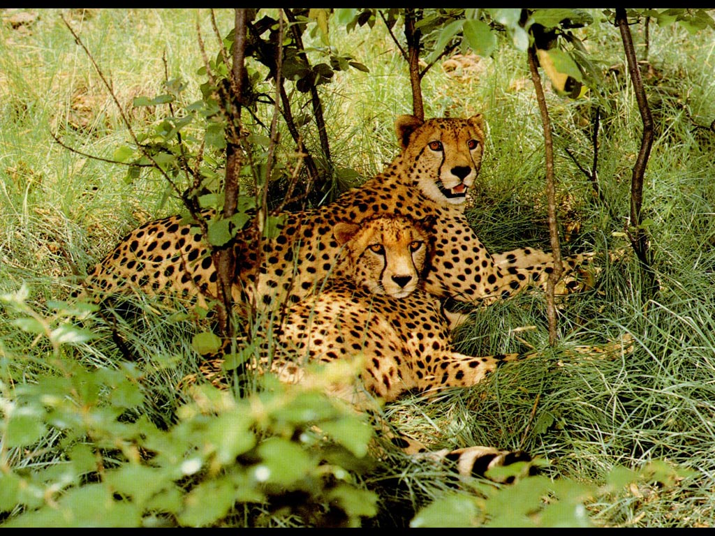 Couple jaguar