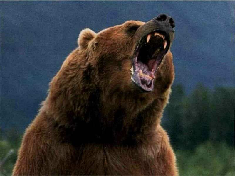 Bear yawns
