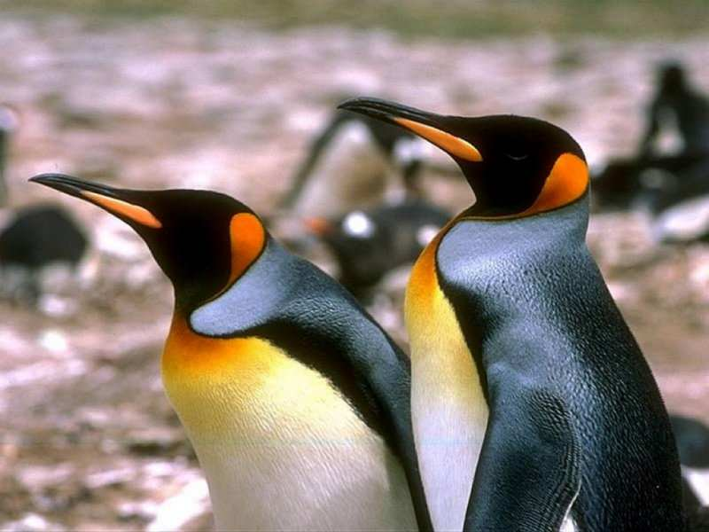Two penguin