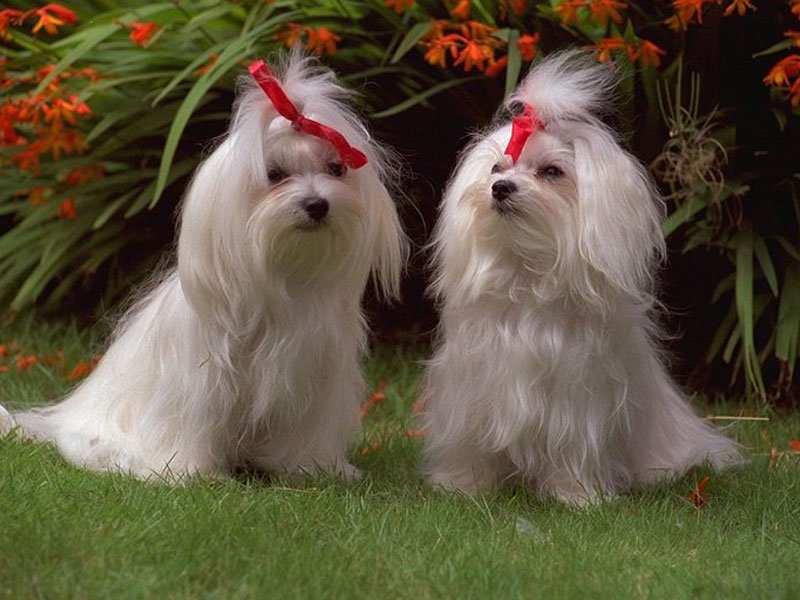 Spruce dogs