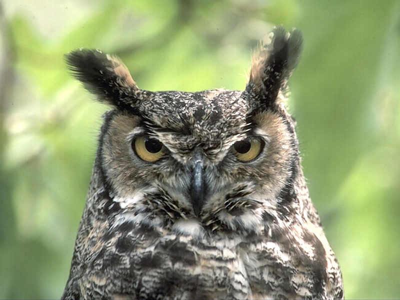 Cruel owl