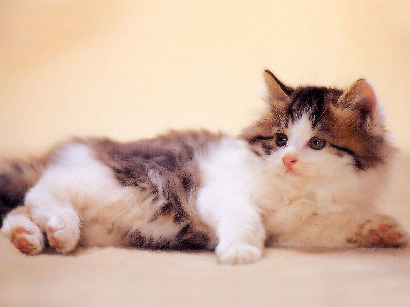 Spruce cat