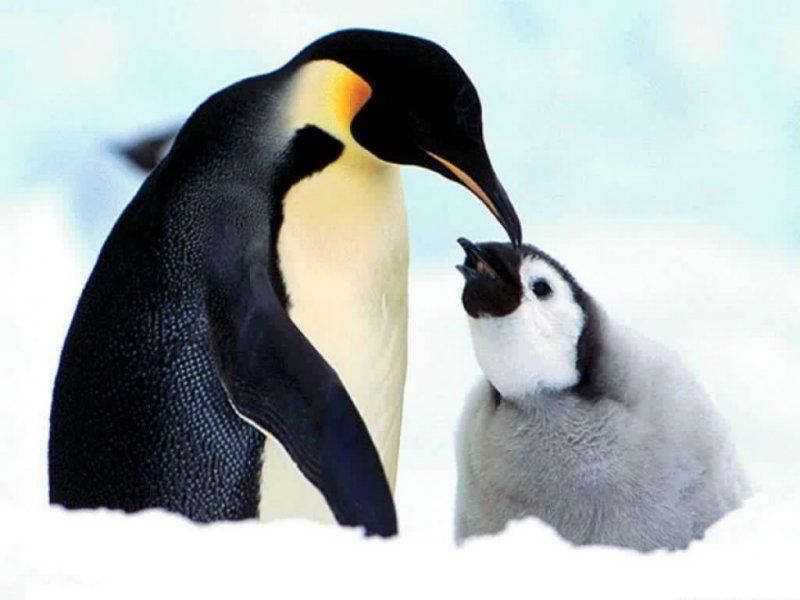 Feed penguin